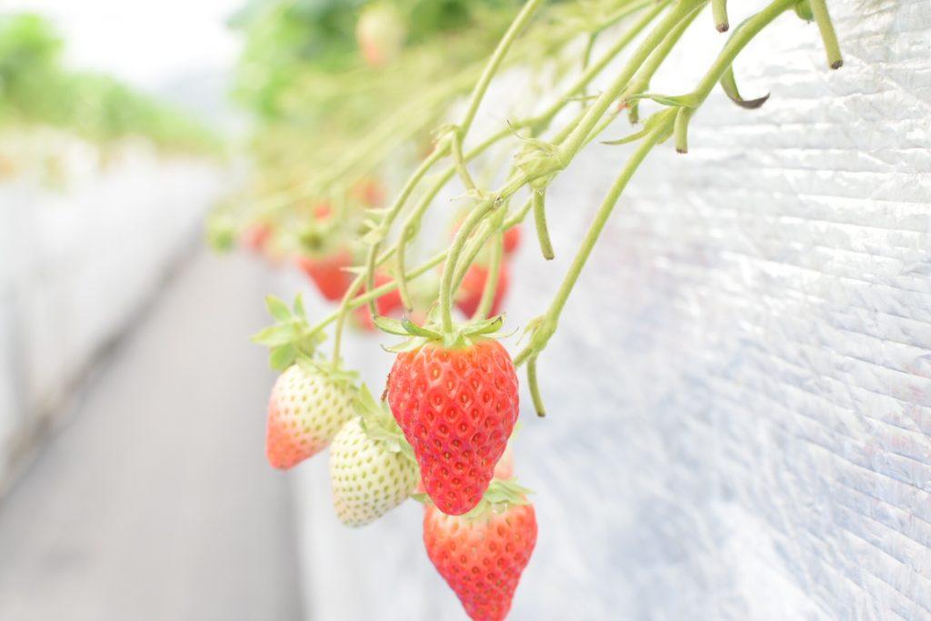 大分市ドームいちご園のイチゴの色づき具合