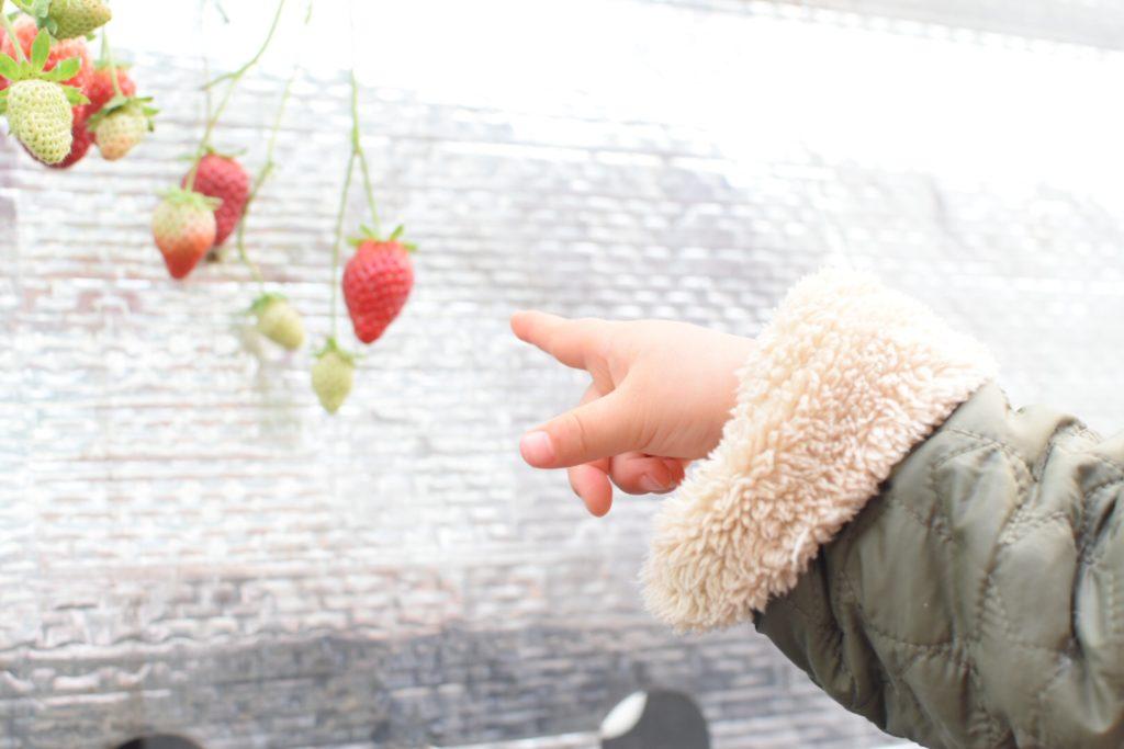 大分市ドームいちご園のイチゴの様子