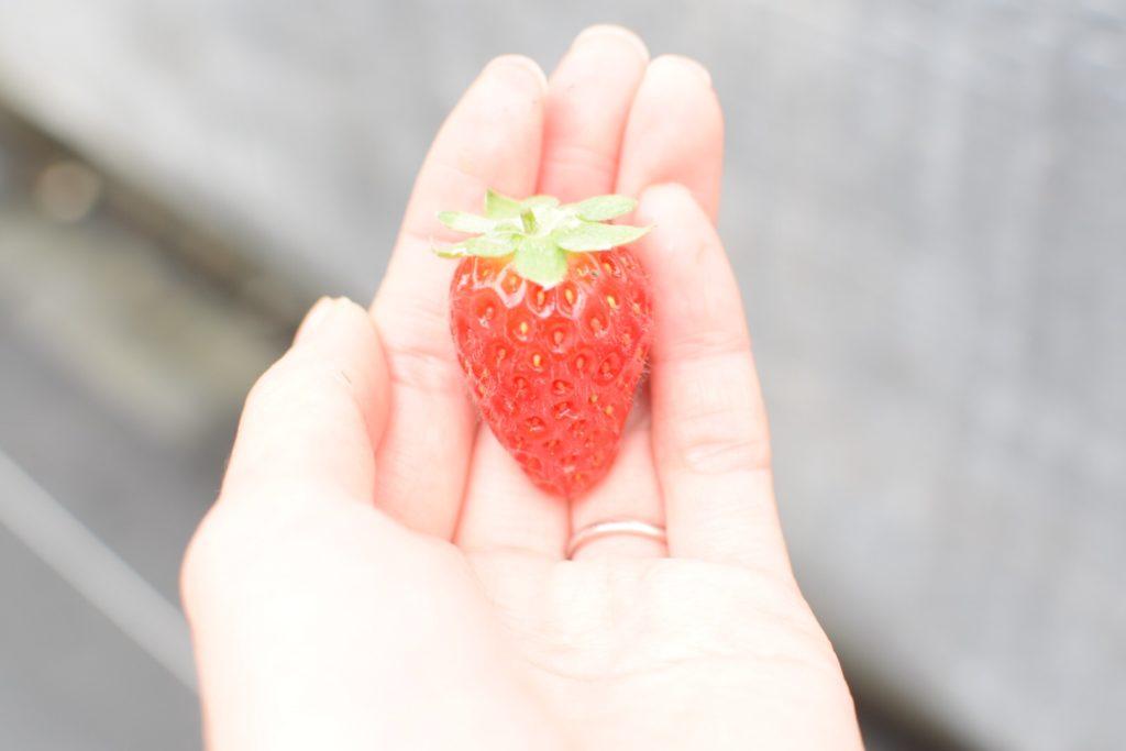 大分市ドームいちご園の立派なイチゴ